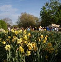 DaffodilDay 220