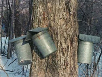 vermont tapping tree